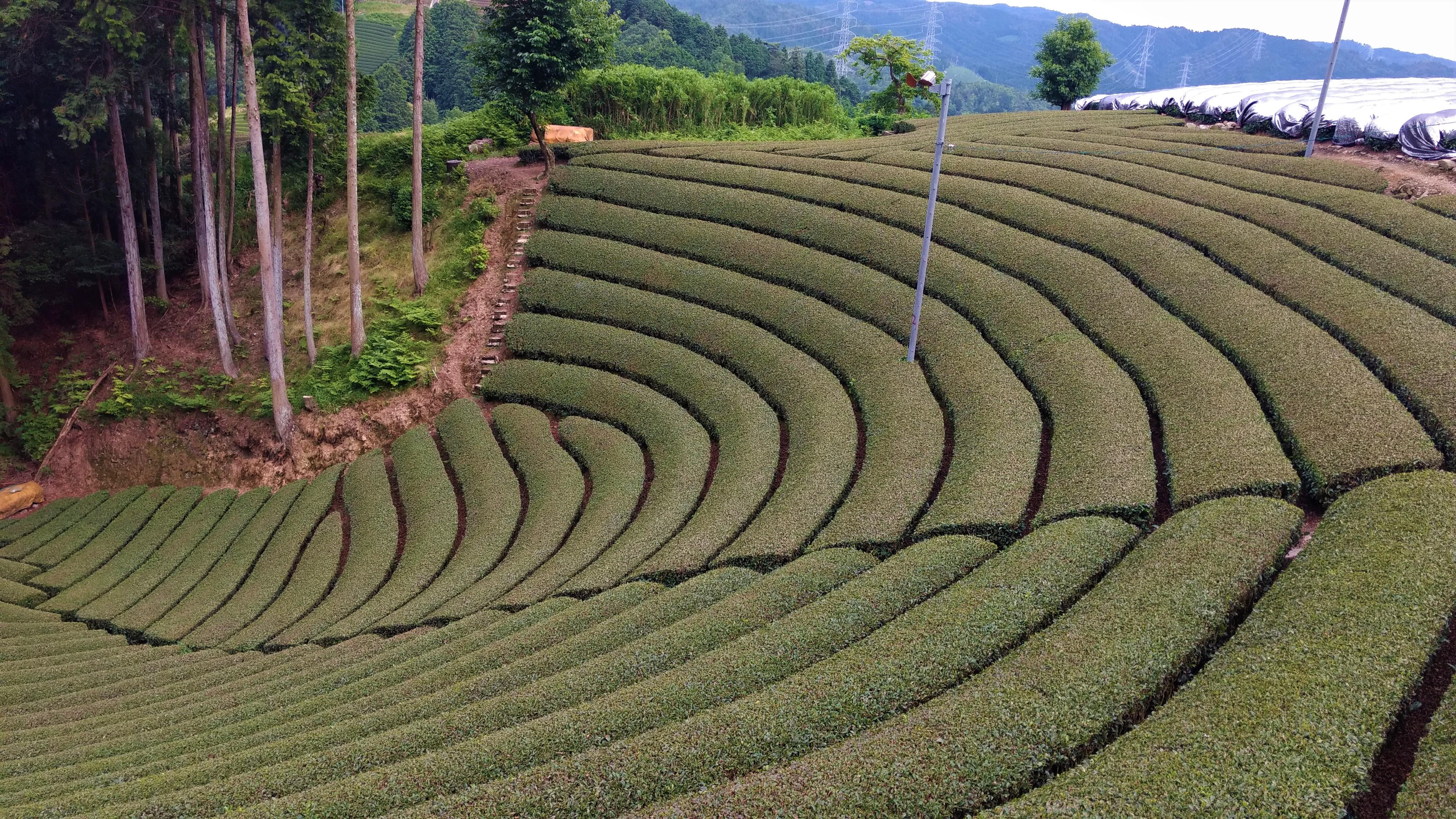 和束町の円形茶園を訪れた